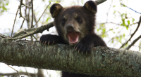 With the warmer weather taking hold, the Timmins Police Service has noted a marked increase in bear calls in recent days. So far this month, […]